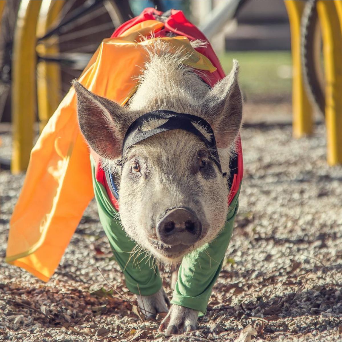 JamonThePig, le micro cochon brésilien