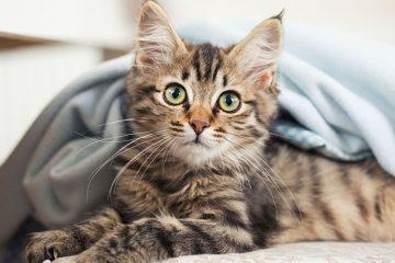 journée-du-chat-influenth