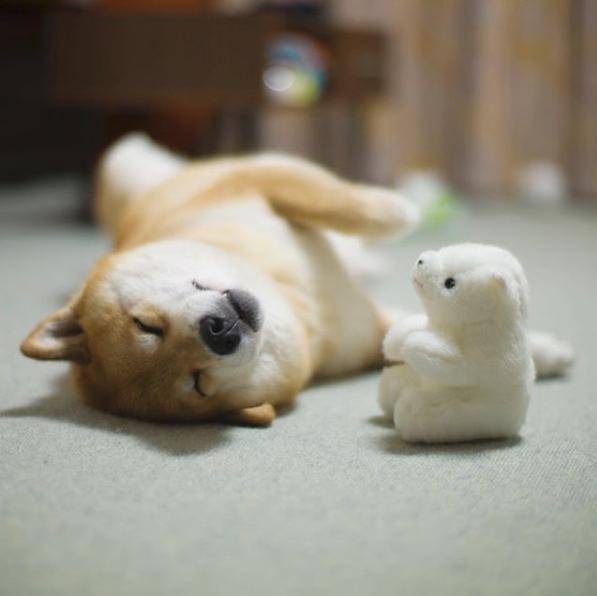 MaruTaro, le Shiba star d'Instagram au Japon