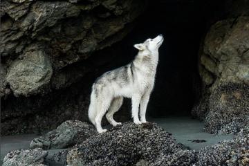 LokiTheWolfdog, le chien loup et son maître