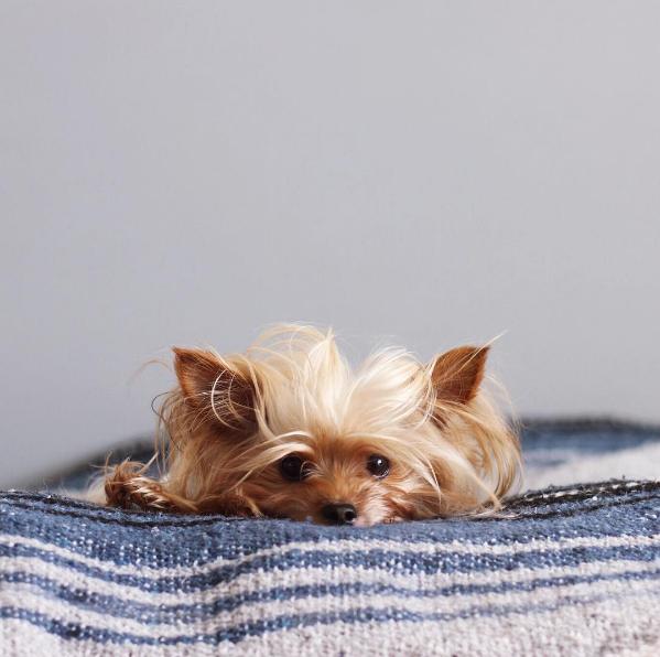 WillieCute, le chien qui se coiffe mieux que vous