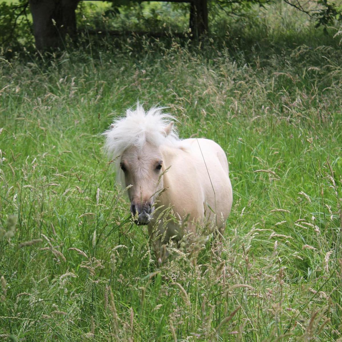 TeddyTheShetland, le poney miniature